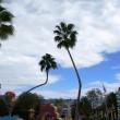 Bent trees at Seuss Landing.