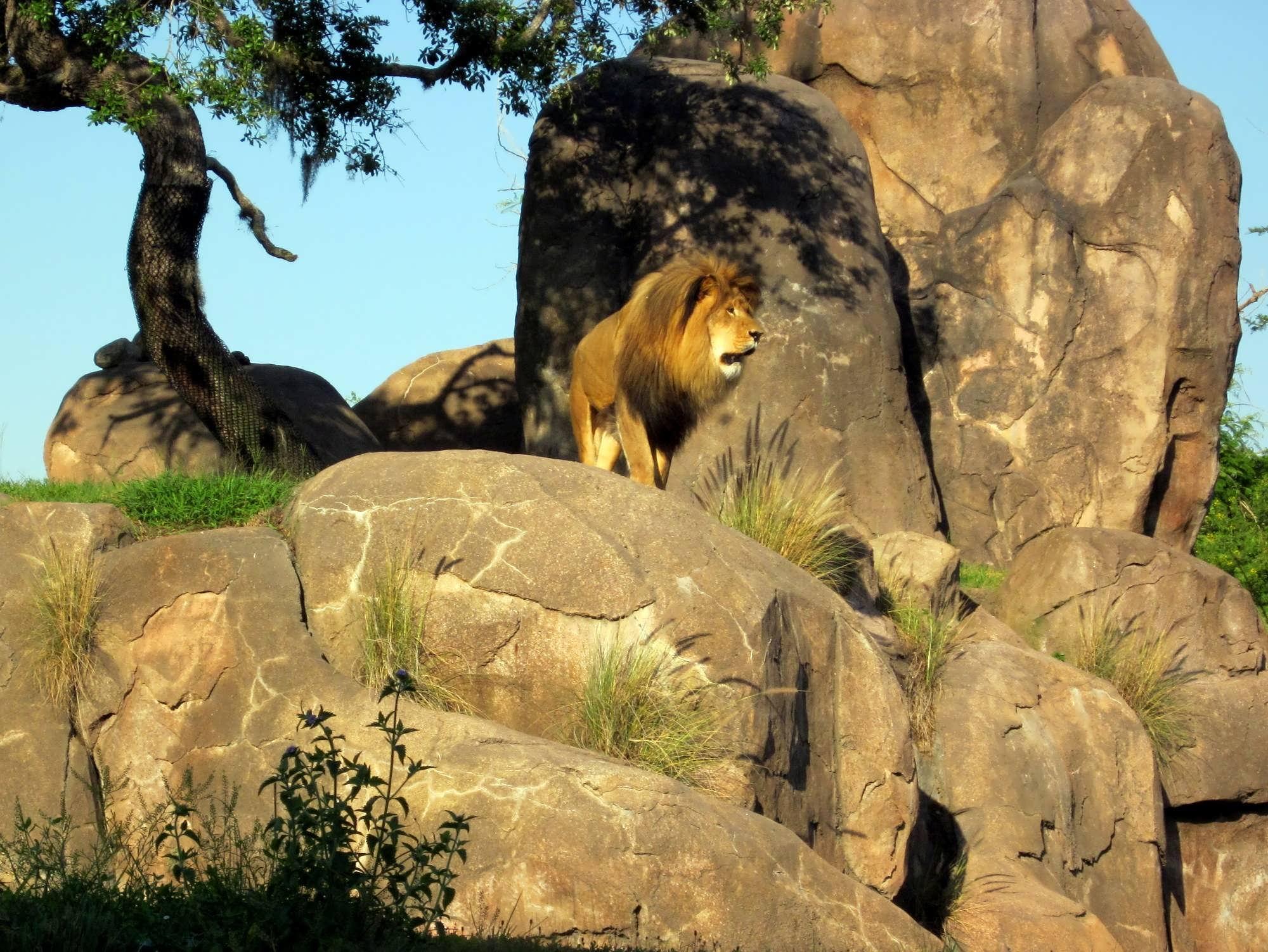 Image of: Nighttime Kilimanjaro Safaris At Disneys Animal Kingdom Orlando Informer Take Wild Ride On Kilimanjaro Safaris