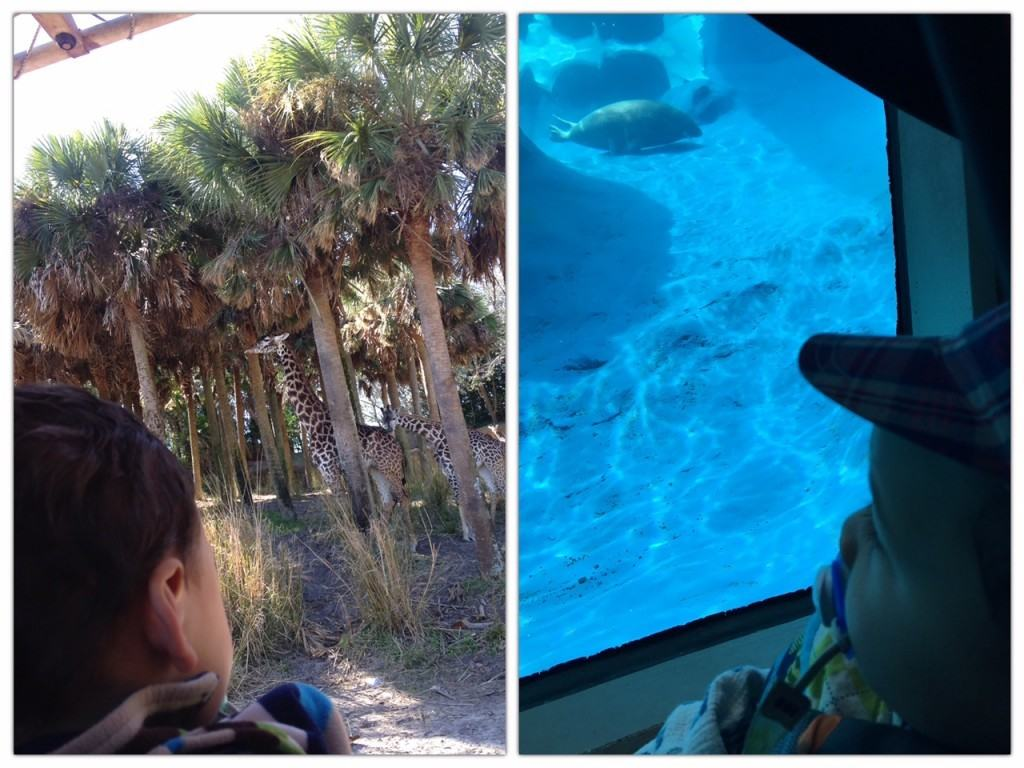 Our little one enjoying the view at Disney's Animal Kingdom and our local zoo.