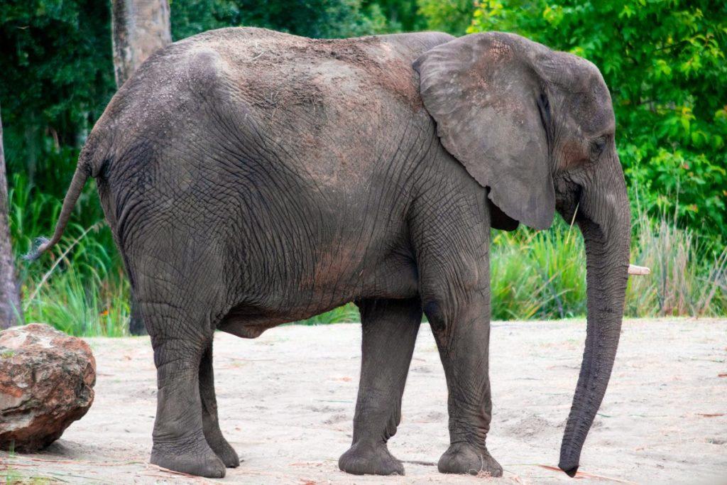 Elephant in Harambe Wildlife Preserve